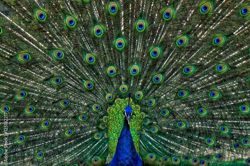 Foto op Aluminium Pauw Vibrant Peacock