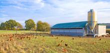 Legehennen Freilandhaltung - Glückliche Hühner In Artgerechter Halung