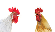 Two Colorful Rooster Sings Due...