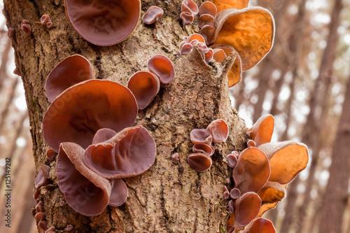 Photo Tasty Jews Ear fungus Auricularia auricula-judae