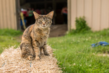 Sneering Tabby Cat On A Haystack In Front Of A Barn