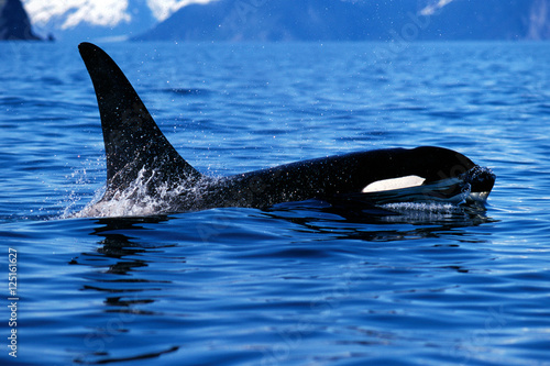 Fotografie, Obraz  Killer whale surfaces and shows tall dorsal fin (Orcinus orca),