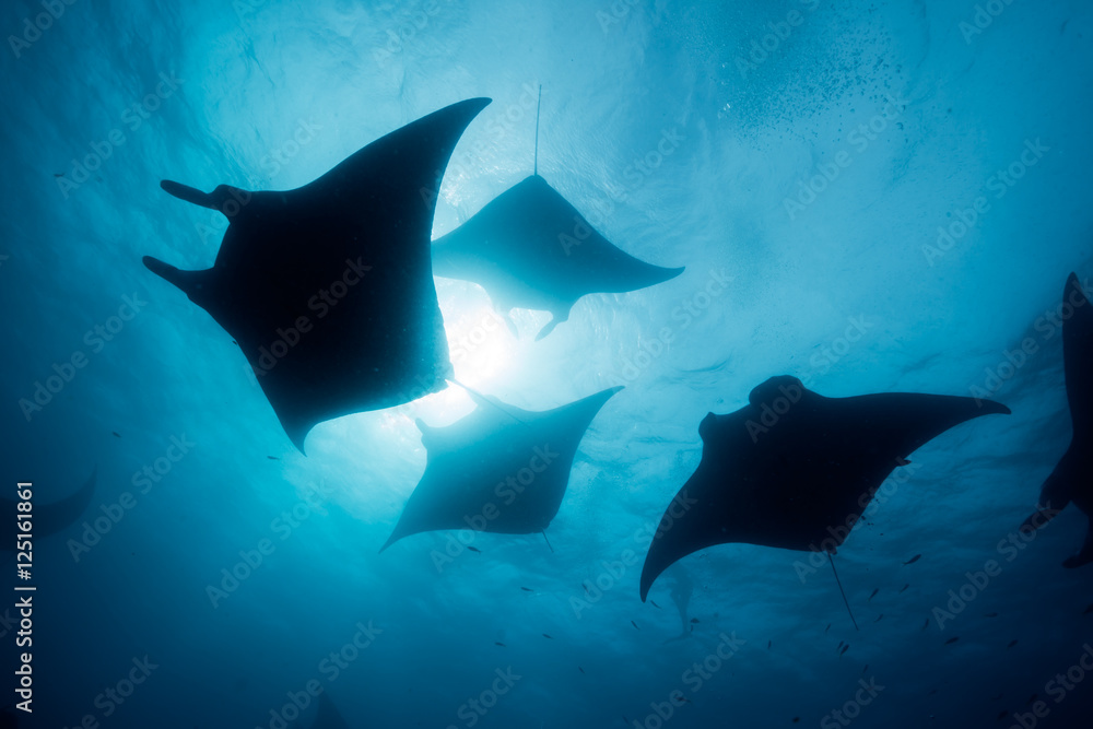 Fototapety, obrazy: Silhouette of manta ray