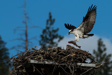 Osprey Brings A Huge Fish To The Nest For A Newly Hatched Chick.