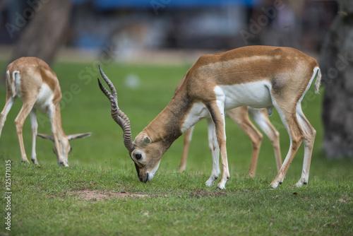 Deurstickers Antilope Antelope walking on green grass