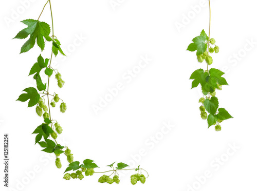 Background of two a hanging branches hops, forming a frame