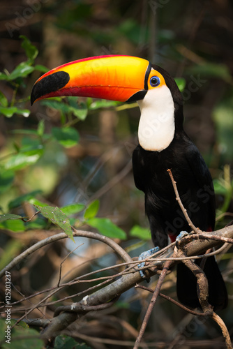 In de dag Toekan Toco toucan perched in profile on branch