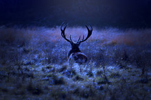 Lonely Deer Walking On A Field By The Forest At Night.