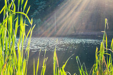 Green Reed On The Lake And Sun Rays