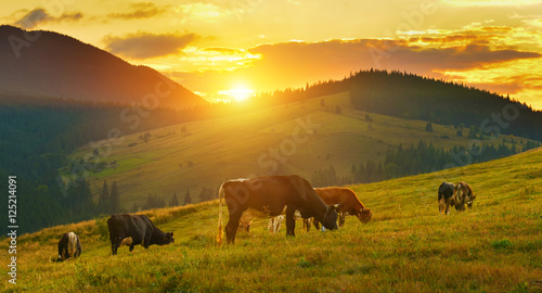 Photo Stands Cow Cows on alpine meadow