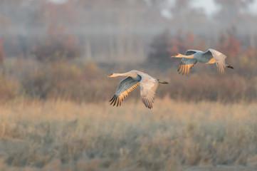 Pair of Sandhill Cranes in Flight in Front of a Foggy Sedge Marsh