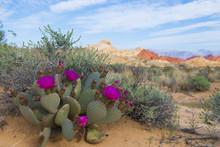Blooming Cactus In Mountain De...