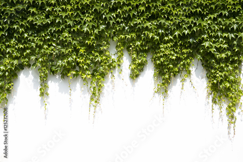ivy leaves on a white background Wallpaper Mural
