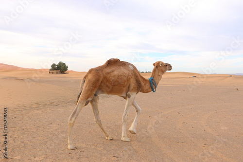 Poster Chameau 砂漠のラクダ