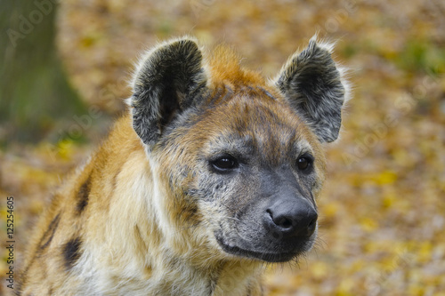 Papiers peints Hyène Crocuta crocuta - Spotted Hyena