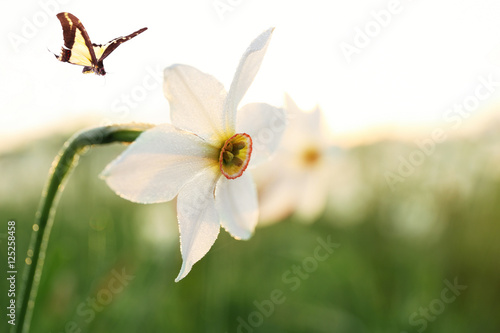 Papiers peints Narcisse Beautiful butterfly and flower, closeup. Nature concept.