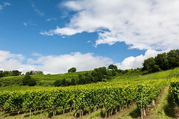 Fototapeta na wymiar Weinreben für Wein Rotwein und Weisswein am Rebberg
