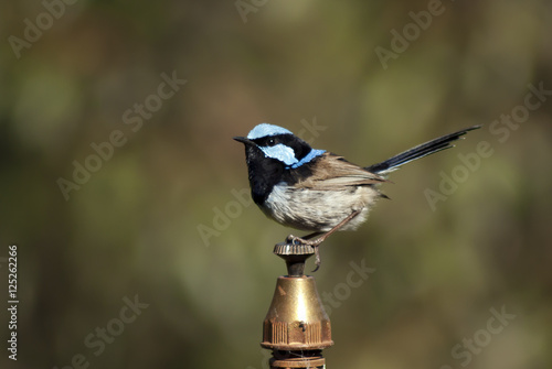 Valokuva  male superb fairy wren perched on top of a water sprinkler head