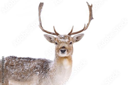 Papiers peints Cerf Fallow deer closeup in a winter field