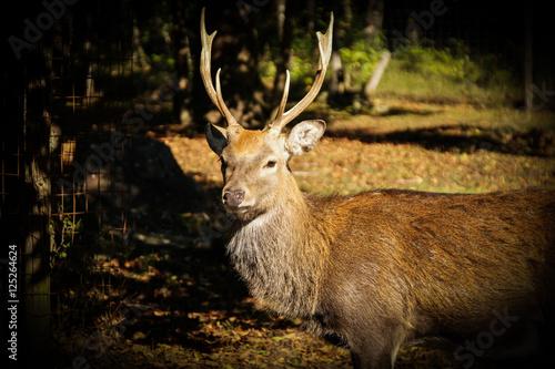 Keuken foto achterwand Hert deer in autumn