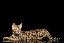 Adorable Bengal Kitten Lying And Looking Back On Isolated Black Background With Reflection, Side View