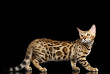 Playful Bengal Cat Standing On Isolated Black Background With Reflection, Side View