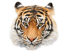 Tiger Head Hand Draw And Paint...