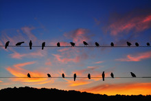 Rook (Corvus Frugilegus) Perched On Power Lines At Sunset
