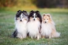 Three Sheltie Dogs Posing Toge...