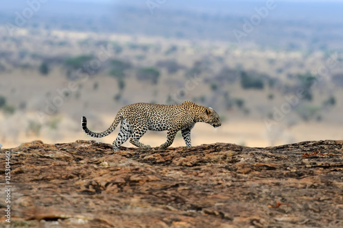 Keuken foto achterwand Luipaard Leopard in National park of Kenya