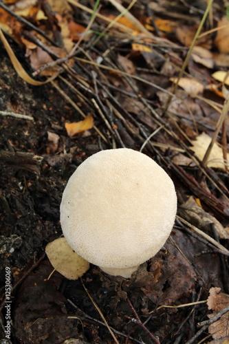 Fotografie, Obraz  Puffball (Lycoperdon sp.) mushroom in the September forest