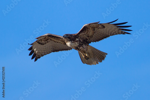 Photo  Red-tailed hawk, seen in the wild near the San Francisco Bay