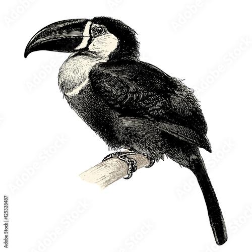 Fotografie, Obraz  vintage bird engraving / drawing: toucan - retro vector design element