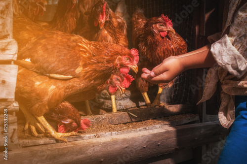 Photo sur Toile Poules child provide to feeding chickens at hen house in countryside morning