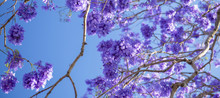 Colourful Jacaranda Tree In Bl...
