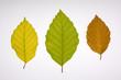 canvas print picture - Buchenblätter in verschiedenen Herbstfarben