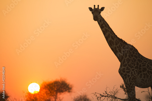 Fényképezés  African giraffe in red against the sun