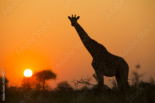 Photo  African giraffe in red against the sun
