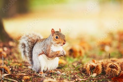 Zdjęcie XXL Śliczna wiewiórka w jesieni scenie