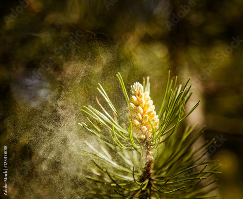 Pollen falling from the new pine blossom
