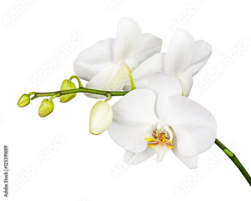 Tuinposter Orchidee Three day old white orchid isolated on white background. Closeup.