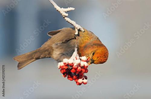 In de dag Toekan bright beautiful bird is eating a red frozen Rowan berries in winter Park