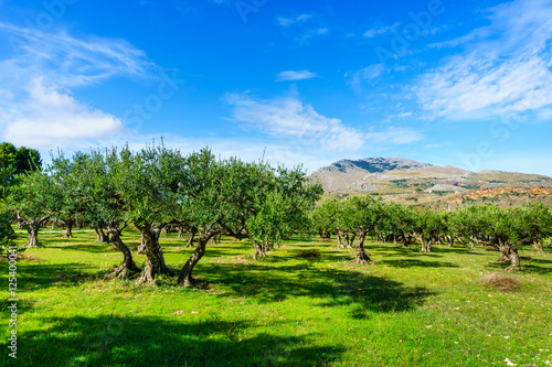 Papiers peints Vignoble a green valley with olive trees at Sicily