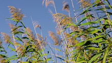 Wild Canes Spread The Seeds Of Their Plumes Moved By Wind, On Blue Sky. Energy Crops