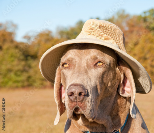 Funny image of a Weimaraner dog wearing a summer hat with a serious