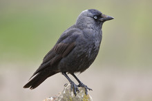 Jackdaw (Corvus Monedula) Resting On A Rock In Their Habitat