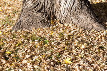 Fallen Oak Leaves And Base Of ...