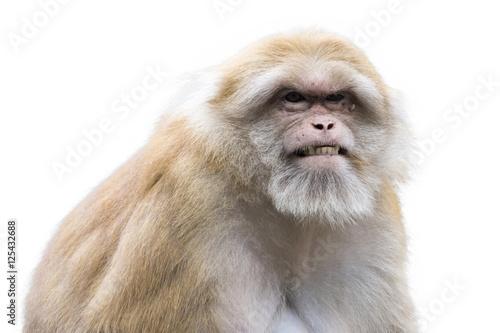 Fotografie, Obraz  Image of a brown rhesus monkeys on white background.