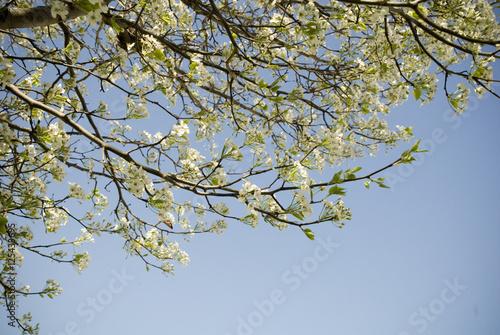 Spring white tree blossoms