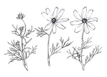 Pink Cosmos Bipinnatus, Commonly Called The Garden Cosmos Or Mexican Aster.  Hand Drawn Black And White Illustration On White BackgroundŒ.